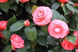 flowering camellia gardens and parks Italian