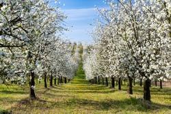 flowering cherry orchard near Cejkovice, Southern Moravia, Czech Republic