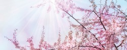 flowering cherry tree from below against blue sky, pink flower landscape during spring awakening