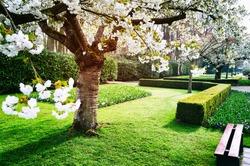 Flowering cherry tree in Keukenhof garden