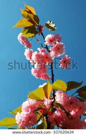 Flowering cherry tree Prunus Amanogawa