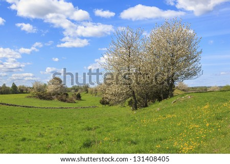 Flowering cherry trees at spring in rural landscape