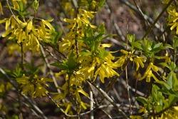Flowering Chinese golden bell tree (Forsythia viridissima)
