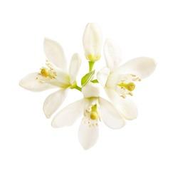 flowering citrus. Spring. white fresh orange tree flowers  isolated on white background
