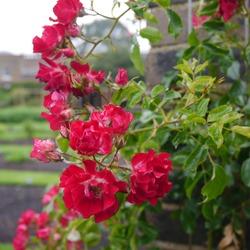 Flowering Climbing English Rose Named Rambling Rosie