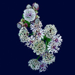 flowering cluster of astrantia blossoms on bold blue background with detailed structure in vintage painting style,fine art still life floral color macro of a bunch of isolated blooms