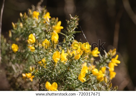 Free photos a bush with spiky plants avopix flowering common gorse ulex europaeus a spiky thorn covered plant with bright yellow mightylinksfo