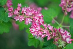 Flowering Currant, Ribes sanguineum, Closeup of flowers