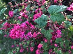 Flowering currant Ribes sanguineum in flower