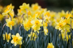 Flowering daffodils in focus in the foreground and blurred in the dark background