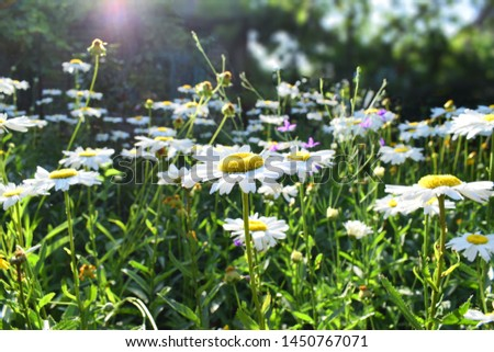 Flowering daisies in the garden.  Oxeye daisy, Leucanthemum vulgare, Daisies, Dox-eye, Common daisy, Dog daisy, Moon daisy #1450767071