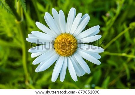Flowering daisy field