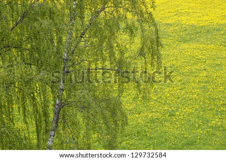 Flowering dandelion flowers and a birch tree