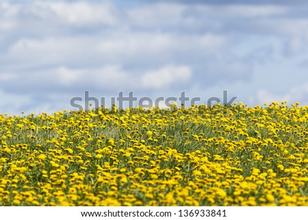 Flowering dandelion flowers on meadow