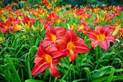 Flowering Day-lily flowers (Hemerocallis flower),  closeup in the sunny day. Hemerocallis fulva. The beauty of decorative flower in garden - Selectice focus