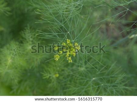 Flowering dill, garden of aromatic herbs