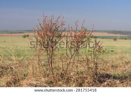 Flowering dwarf almond bush in Yamskaya Steppe protected area in Belgorod region, southern Russia