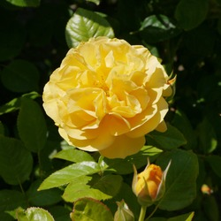 Flowering English Rose Named Absolutely Fabulous