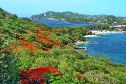Flowering flame trees on the slope of Pigeon Island, Saint Lucia, with the resorts at Rodney's Bay in the distance