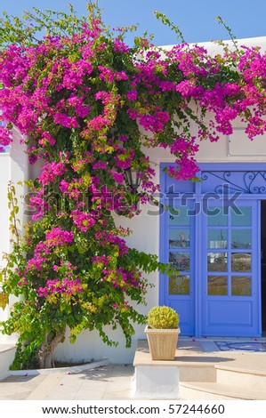 Flowering Flowers bougainvillea at the door - feature Mykonos and Greece