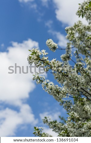 Flowering fruit trees in spring