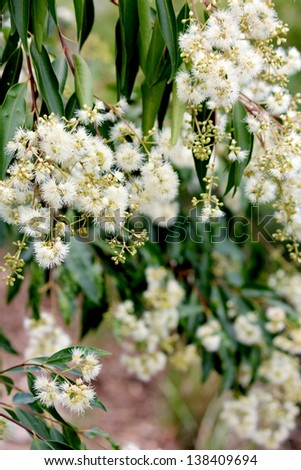 Flowering Gum Tree