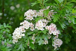 Flowering hawthorn is single-penned (Crataegus monogyna Jacq.). Blossoming
