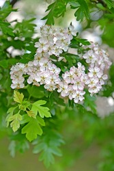Flowering hawthorn is single-penned (Crataegus monogyna Jacq.). Flowers and leaves