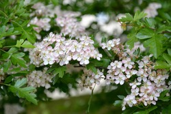 Flowering hawthorn is single-penned (Crataegus monogyna Jacq.). Spring
