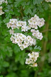 Flowering hawthorn is single-penned (Crataegus monogyna Jacq.). White inflorescences