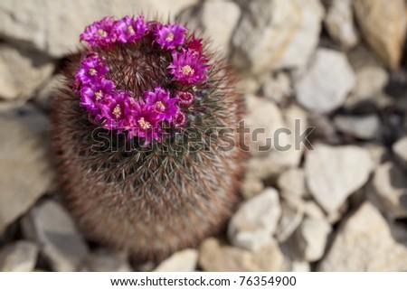 Flowering Hedgehog Cactus