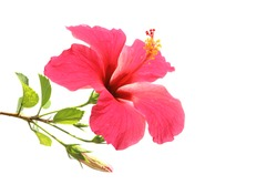 Flowering Hibiscus. Isolated on white.
