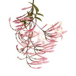 Flowering Jasminum officinale, the common jasmine, isolated on white background
