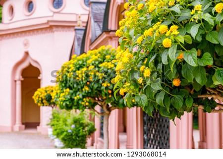 Flowering Lantana Plant in the Park. Pink Mosque in Schwetzingen Palace garden, Baden Wuerttemberg, Germany