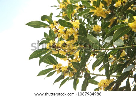Flowering Laurus nobilis plant, branches with yellow flowers #1087984988