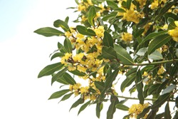 Flowering Laurus nobilis plant, branches with yellow flowers, Laurus azorica  on white background