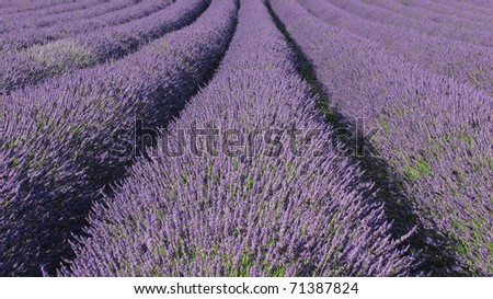 Flowering lavender field
