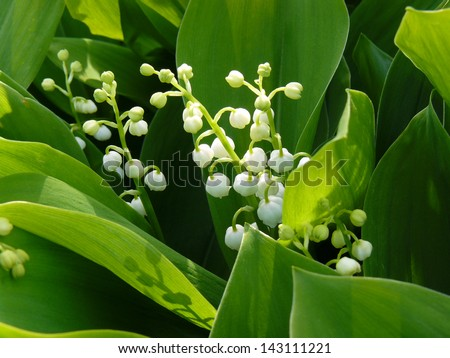 stock-photo-flowering-lily-of-the-valley-143111221.jpg