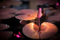 Flowering lily pad at night