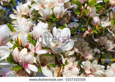Flowering Magnolia Tulip Tree. Chinese Magnolia x soulangeana ( Magnoliaceae ) blossom  with tulip-shaped flowers. Hybrid of Magnolia denudata and liliiflora
