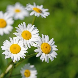 Flowering marguerites, Leucanthemum, in close up