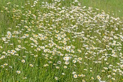 Flowering marguerites, Leucanthemum, in the meadow