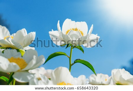Flowering of a peony flower, among a garden of flowers. A beautiful flower blooms under the sun. Spring flowers. White flowers #658643320