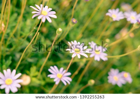 Flowering of colorful daisies.Common daisy, Dog daisy, Moon daisy. Gardening concept #1392255263
