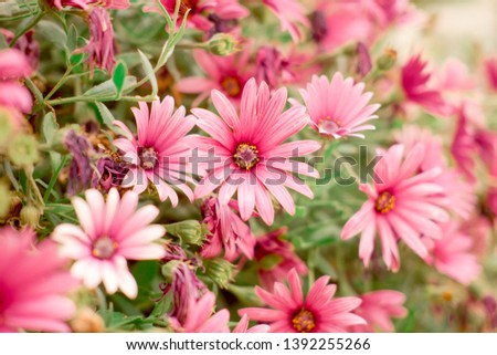 Flowering of colorful daisies.Common daisy, Dog daisy, Moon daisy. Gardening concept #1392255266