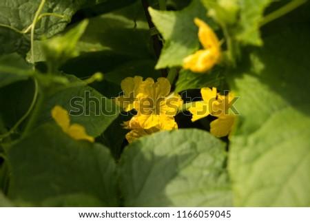 flowering of cucumbers in the garden #1166059045