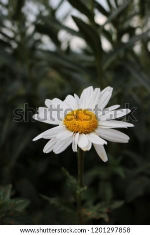 Flowering of daisies. Daisies, Dox-eye, Common daisy, Dog daisy, Moon daisy. Gardening concept #1201297858