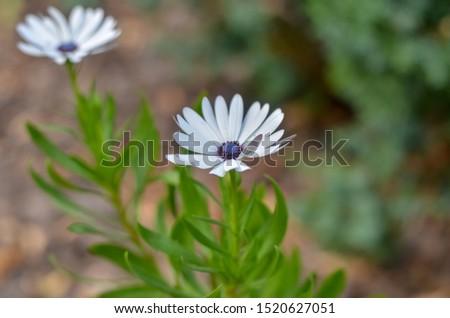 Flowering of daisies.  Daisies, Dox-eye, Common daisy, Moon daisy. Gardening concept #1520627051