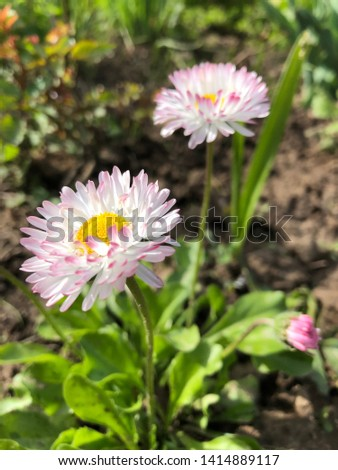 Flowering of daisies.  Gardening concept.  European species of daisy, of the Asteraceae family, sometimes called common daisy, lawn daisy or English daisy #1414889117