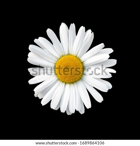 Flowering of daisies isolated in black background. Oxeye daisy, Leucanthemum vulgare, daisies, Common daisy, Dog daisy, Moon daisy.